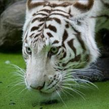 Witte tijger - Petra de Groot