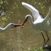 Ooijevaars eten vis - Petra de Groot