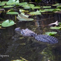 Alligator 1 © fotografiepetra