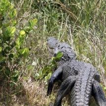 Alligator neemt de benen 1 © fotografiepetra