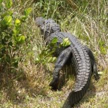 Alligator neemt de benen 2 © fotografiepetra