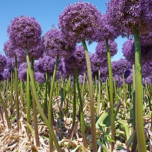 Alliumveld Egmond 1 © fotografiepetra