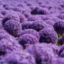 Alliumveld Egmond 2 © fotografiepetra