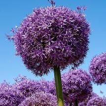 Alliumveld Egmond 3 © fotografiepetra