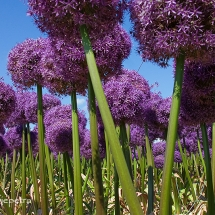 Alliumveld Egmond 4 © fotografiepetra