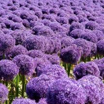 Alliumveld Egmond 5 © fotografiepetra