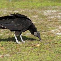 Amerikaanse zwarte gier 1 © fotografiepetra