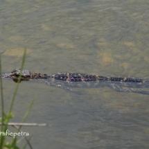 Baby Alligator © fotografiepetra