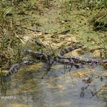 Baby alligators 1 © fotografiepetra