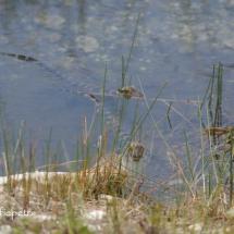 Baby alligators 2 © fotografiepetra