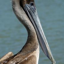 Bruine pelikaan 1 © fotografiepetra
