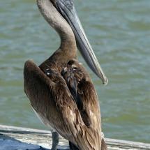 Bruine pelikaan 2 © fotografiepetra