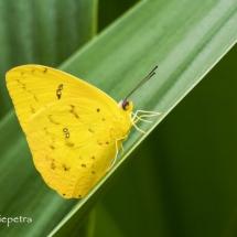 Citroenvlinder © fotografiepetra