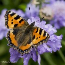 Dagpauw vlinder © fotografiepetra