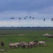 Oostvaardersplassen paarden & vogels © fotografiepetra