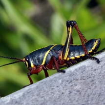 Reuze krekel © fotografiepetra