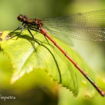 Rode libelle 2 © fotografiepetra
