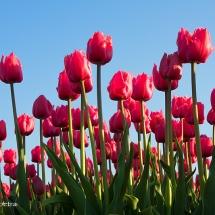 Rode tulpen 1 © fotografiepetra