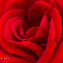 Roos 1 © fotografiepetra