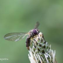 Wesp 2 © fotografiepetra