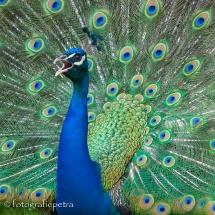 Zo trots als een pauw © fotografiepetra