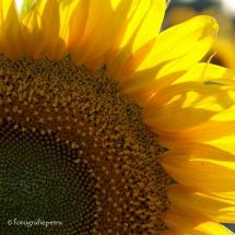 Zonnebloem vierkant 1 © fotografiepetra