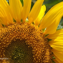 Zonnenbloem 1 © fotografiepetra