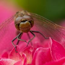 Bruinrode heidelibel 1 © fotografiepetra
