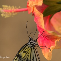 Papiervlinder © fotografiepetra