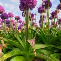 Alliumveld © fotografiepetra