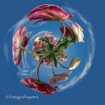 Little Panet Tulpen © fotografiepetra