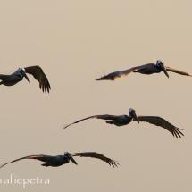 Bruine pelikanen in vlucht © fotografiepetra