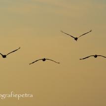 Bruine pelikanen © fotografiepetra