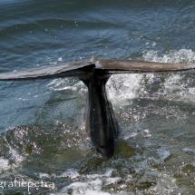 Staart van een dolfijn © fotografiepetra