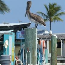 Bruine pelikaan Keys © fotografiepetra