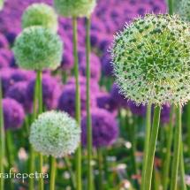 Witte en paarse alliumbollen © fotografiepetra