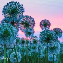 witte alliumbollenveld © fotografiepetra