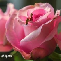 Op rozen zitten © fotografiepetra