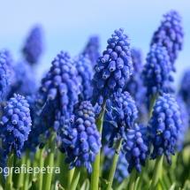 Blauwe druiven © fotografiepetra