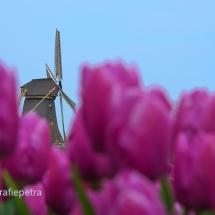 Bollenveld en molen 't Zand © fotografiepetra