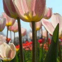Gemengd veld met tulpen © fotografiepetra