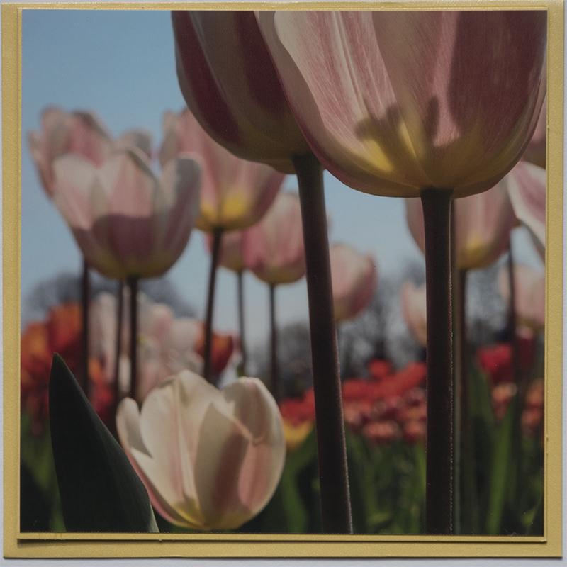 Kaart 23 Tulpen multi © fotografiepetra
